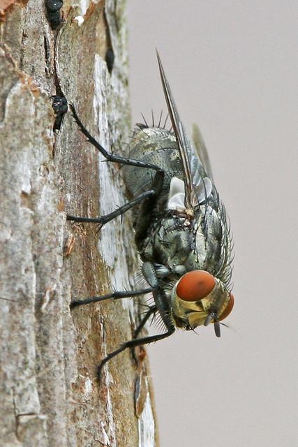 A Fly 20d