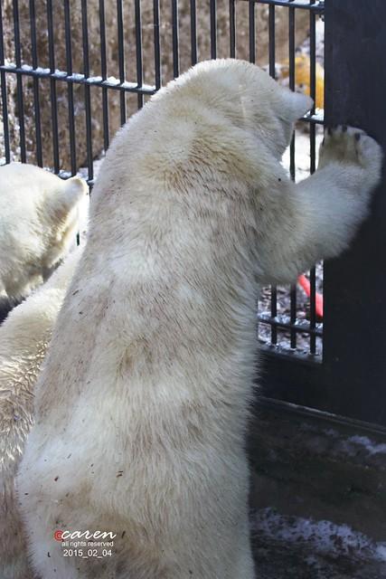 Eisbären Giovanna Nobby&Nela 2015_02_04 100