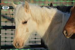halter(0.0), animal(1.0), mane(1.0), mare(1.0), stallion(1.0), mammal(1.0), horse(1.0), mustang horse(1.0),