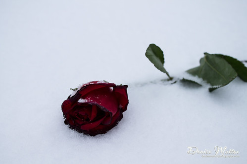 3/47: Red rose in snow