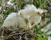 A Nest Full of Snowy Egrets