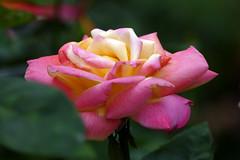 「玫瑰花」'16a
