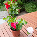 Small photo of Mandevilla