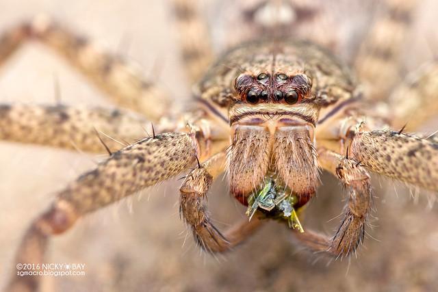 Huntsman spider (Heteropoda sp.) - DSC_2947