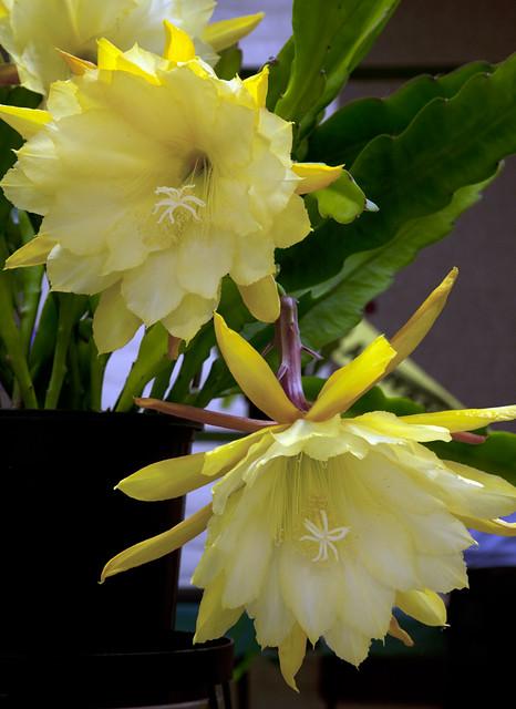 Epiphyllum E47-9