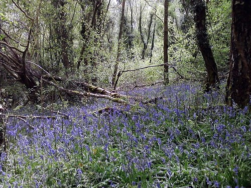 Bluebells in Otterbourne