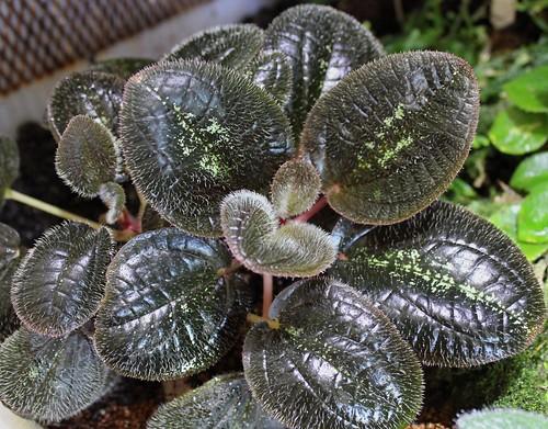 Bertolonia maculata