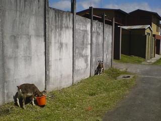 las cabras del vecino