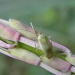 Apolygus spinolae