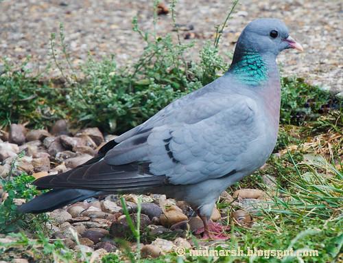 IMG_6348 Stock Dove