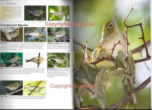 Bay-breasted Warbler Drab 2