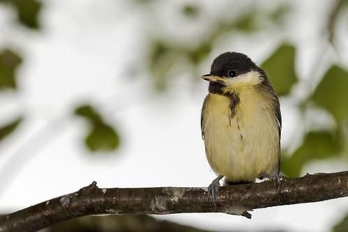 baby bird young greattit parusmajor lintu talitiainen talitintti nivala poikanen