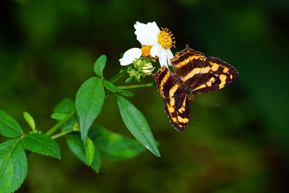 盛蛺蝶屬散紋盛蛺蝶-4