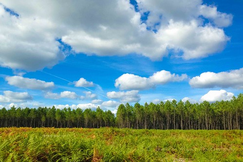 The Pines of Landes