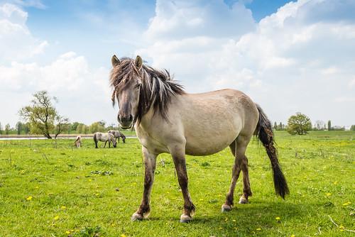 Konik horse by RuudMorijn