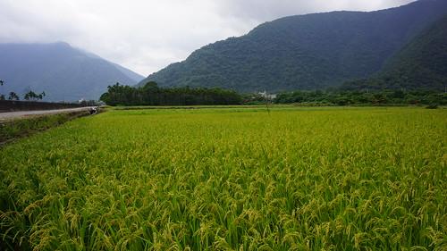 大南澳稻田。(圖片來源:花蓮農改場)