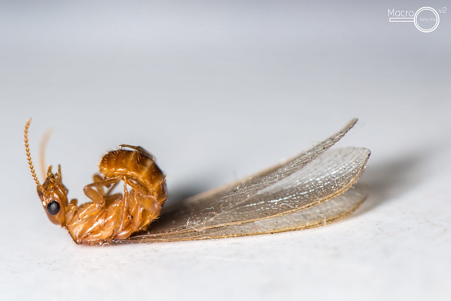 Termite Fly