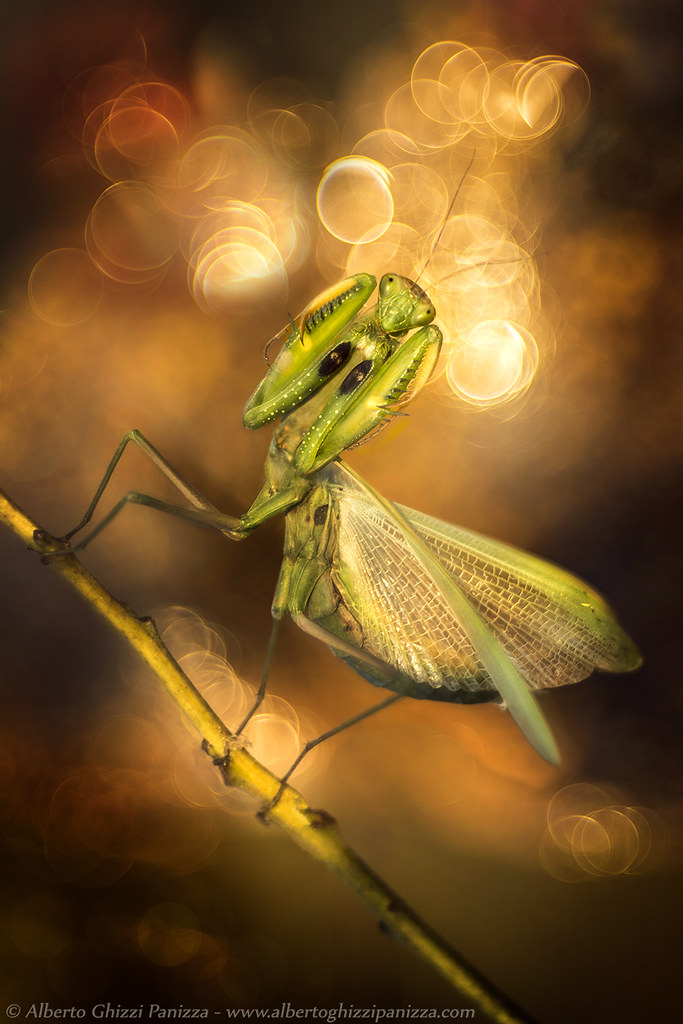 Mantis' Dream