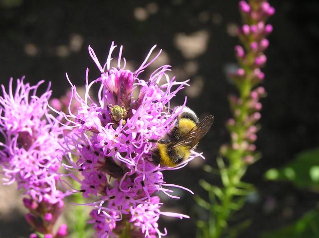 Bumblebee, Bombus hortorum