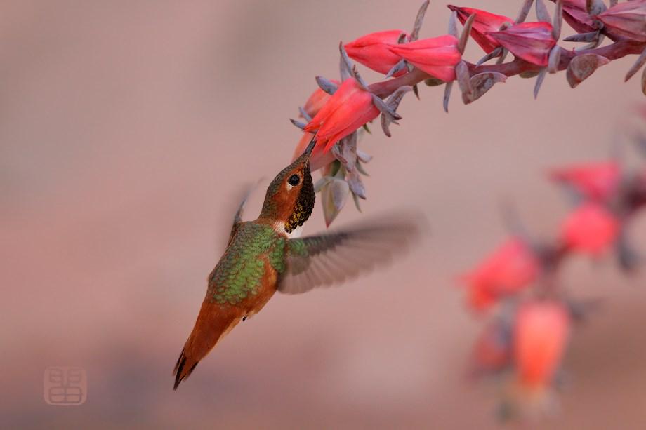Allen's Hummingbird 122513