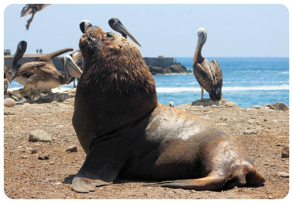iquique sea lion and pelicans