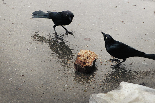 blackbirds and bran muffin (2014)