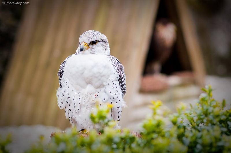 A white hawk