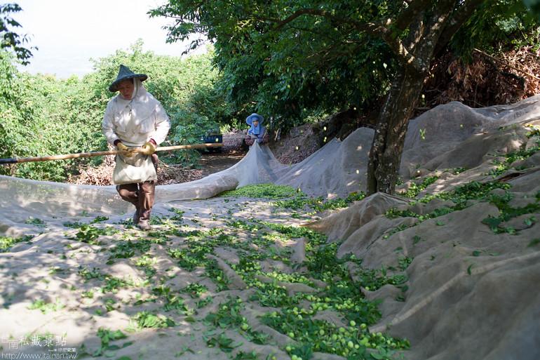 台南私藏景點--南化採梅 (10)