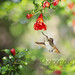 Young Allens Hummingbird at Pomegranates by *GloriousNature*bySusanGaryPhotography