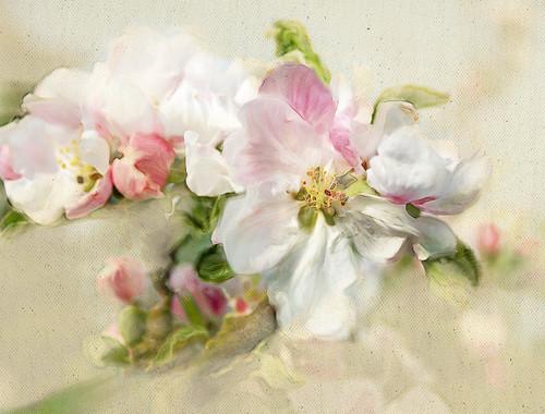 Painted apple blom.