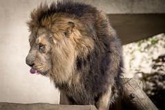 animal, mane, lion, mammal, fauna, close-up,