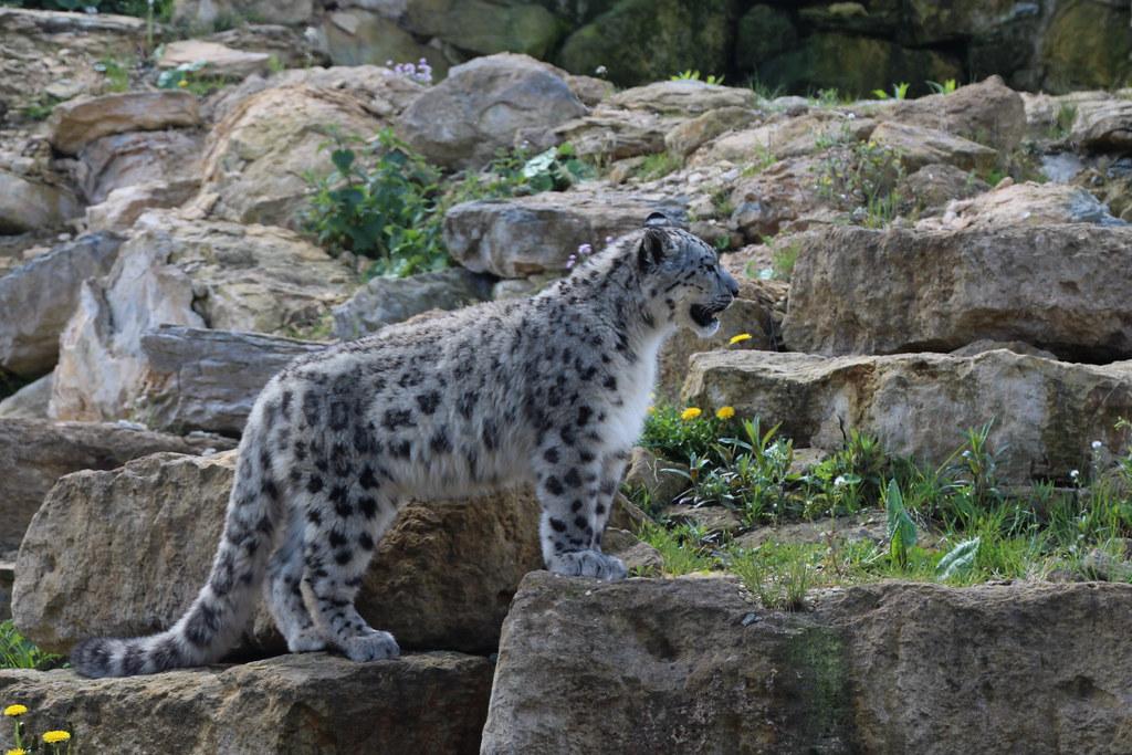 λεοπάρδαλη του χιονιού
