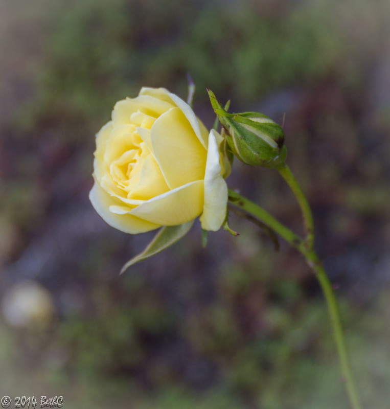 132/365 Yellow Rose of NorCal-1