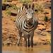 COMMON ZEBRAS (Equus burchelli).....NAIROBI NAT.PARK.....OCT 2014