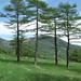 高峰高原に立つカラマツ林