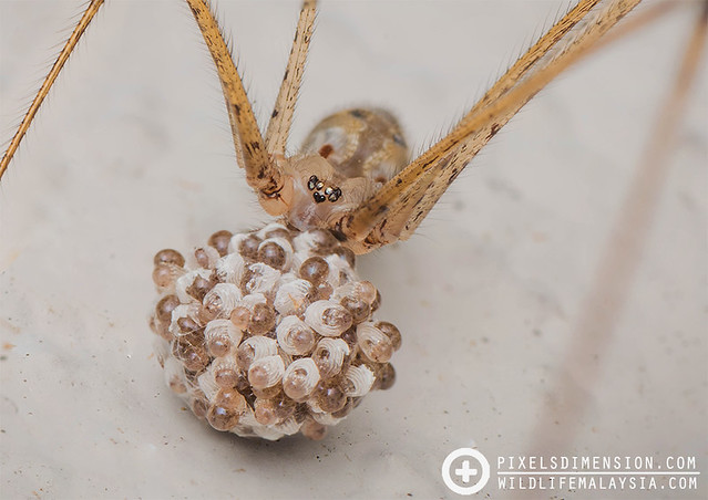 A mother Round-Bodied House Daddy-Long-Leg Spider- Physocyclus globusus ♀