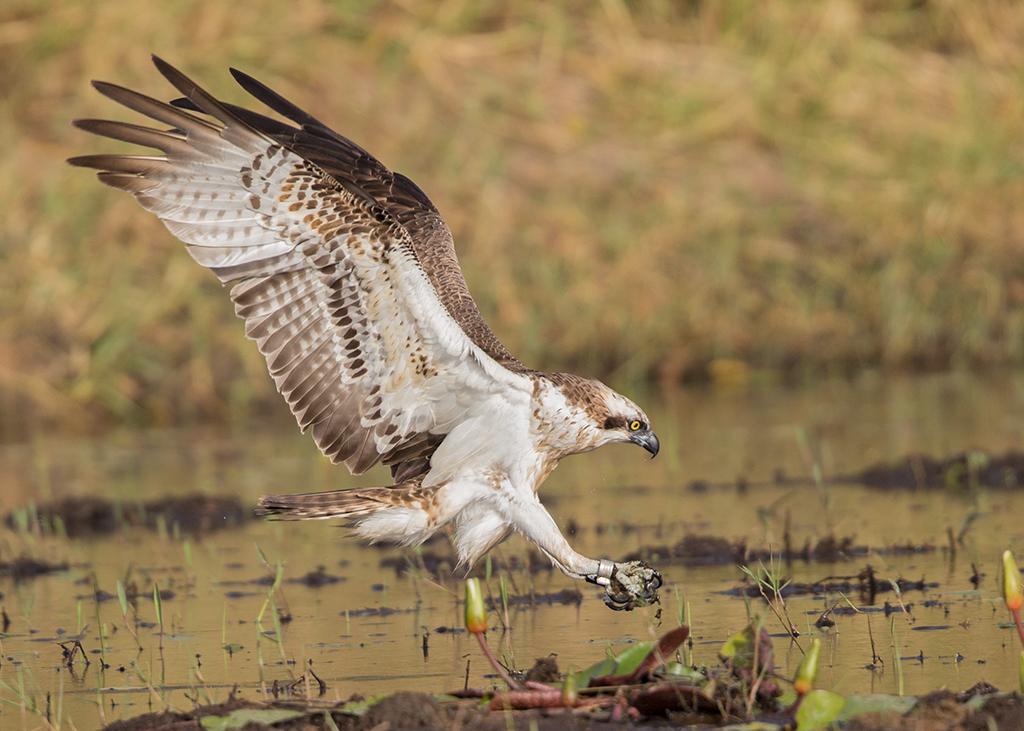 Osprey  Gambia