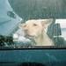 a dog portrait in a raining day by Andrea Buzzichelli (aka Joseph Pane)
