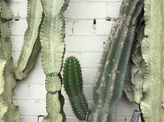 acanthocereus tetragonus, green,