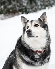 norwegian elkhound(0.0), dog breed(1.0), animal(1.0), lapponian herder(1.0), west siberian laika(1.0), dog(1.0), czechoslovakian wolfdog(1.0), miniature siberian husky(1.0), alaskan klee kai(1.0), winter(1.0), siberian husky(1.0), pet(1.0), shikoku(1.0), canadian eskimo dog(1.0), east siberian laika(1.0), tamaskan dog(1.0), greenland dog(1.0), northern inuit dog(1.0), wolfdog(1.0), saarloos wolfdog(1.0), native american indian dog(1.0), jã¤mthund(1.0), alaskan malamute(1.0), sled dog(1.0), carnivoran(1.0),