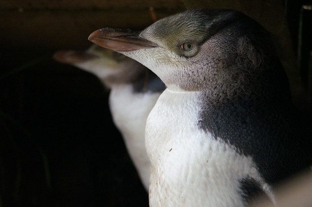Yellow-Eyed penguins closeup