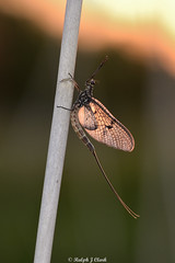 HolderMayfly Sundown