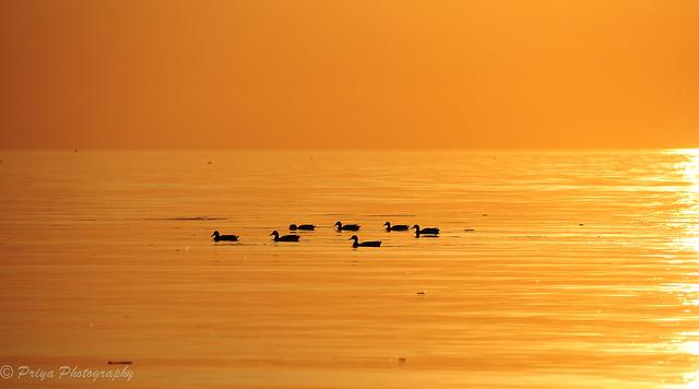 Ducks swimming in Lake Ontario