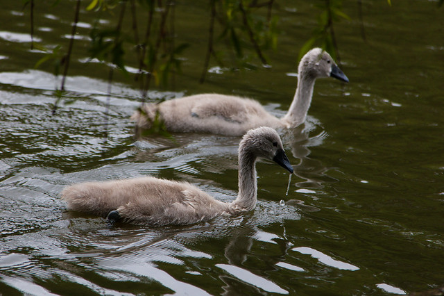 Cygnets swimming, overhanging willow above