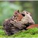 Red Squirrel - Eekhoorn (Sciurus vulgaris) ..... by Martha de Jong-Lantink