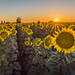 Sunflower Sunset Dixon (All Walks of Life) by thjoyce