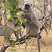 Grey Langur and Blue Bull