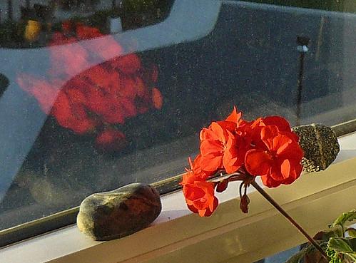 geranium reflection