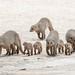 Banded mongooses in Etosha