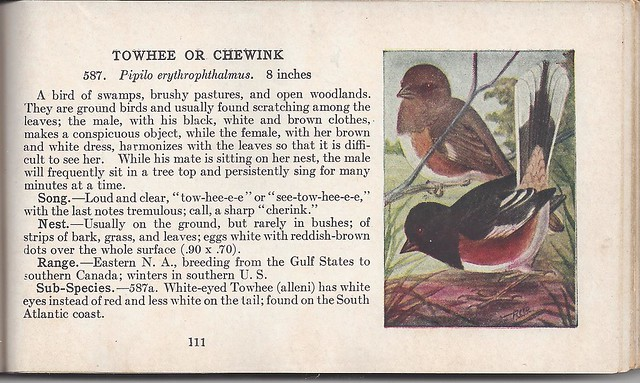 Towhee in Reed Guide 1923jpg